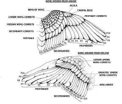 birds wings and feathers on pinterest : wing diagram - findchart.co