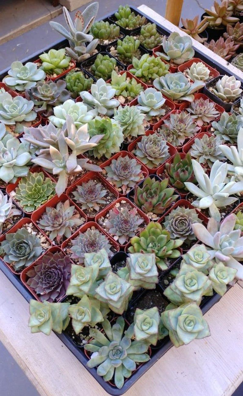 """2"""" 64 Pack Assorted Succulent Favors Collection"""