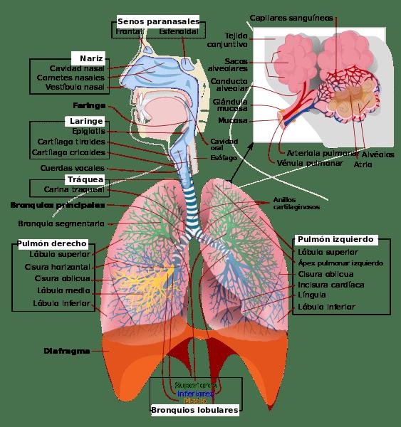 Respiración Pulmonar: Características, Proceso, Fases y Anatomía ...