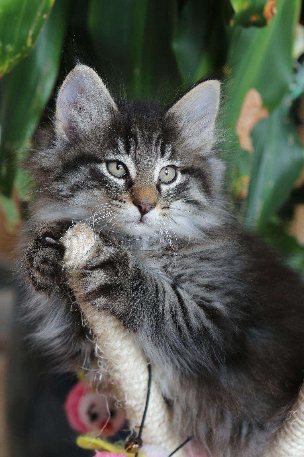 Titran's Florestan Norwegian forest cat, Forest cat