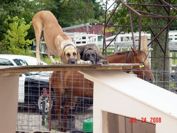 Fawn Brindle Great Danes Hang With Horse Brindle Great Dane