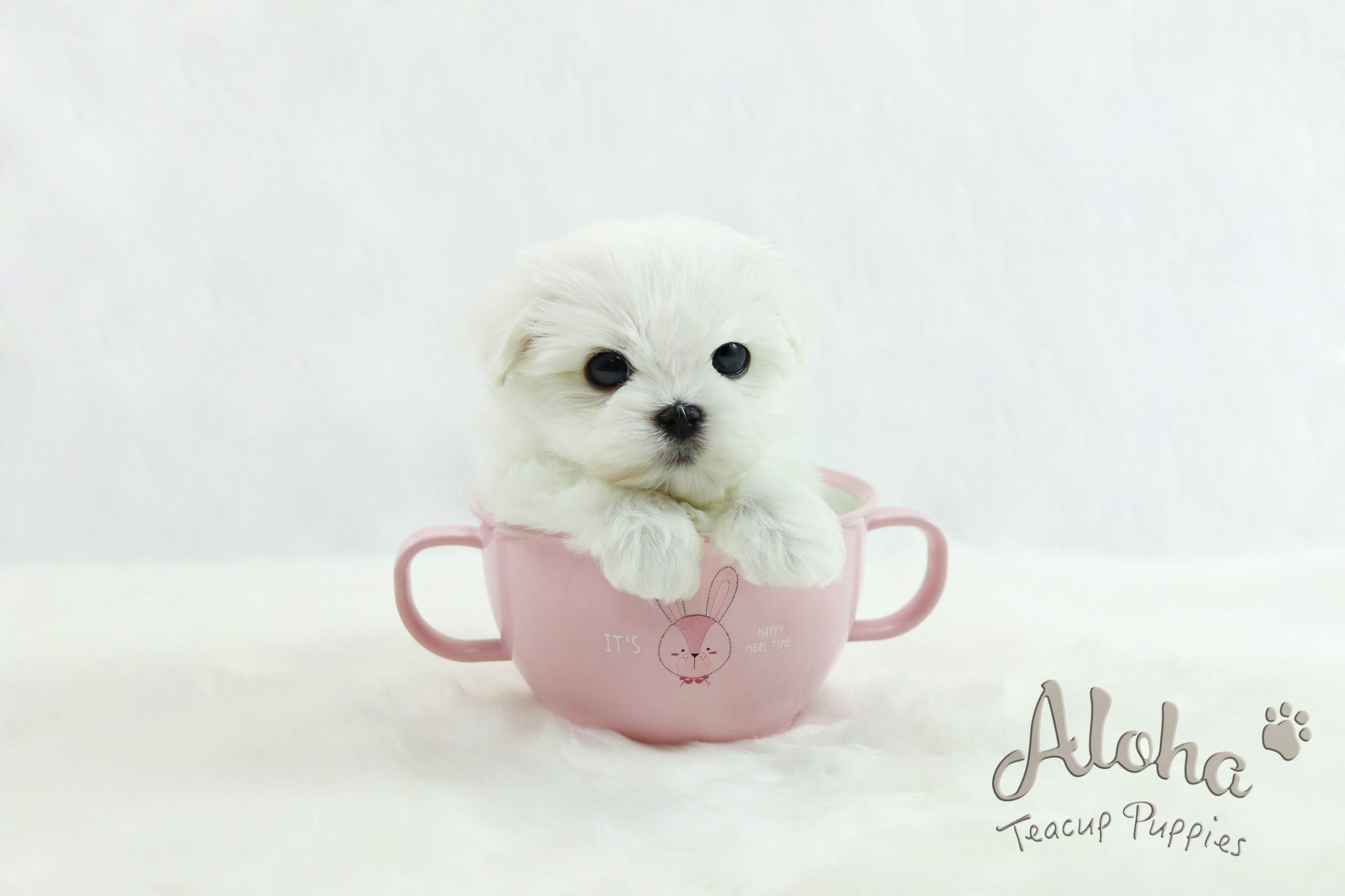 Teacup Maltese Puppy Https Www Alohateacuppuppies Com