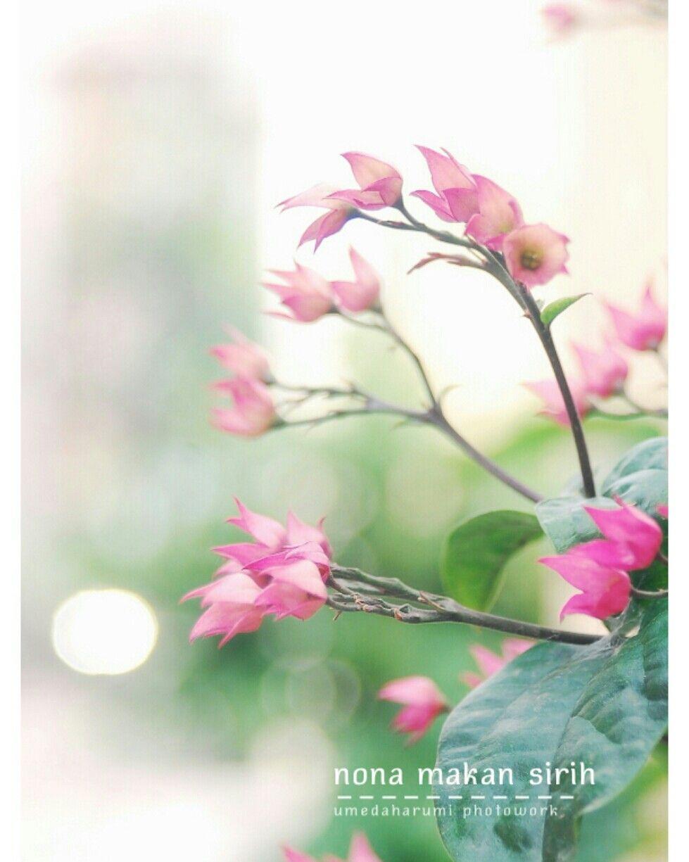 Nama Latin Bunga Nona Makan Sirih Ini Adalah Clerodendrum Thomsonae Balff Sering Kita Gunakan Sebagai Sebagai Tanaman Hias Di Halaman Ata Bunga Tanaman Tropis