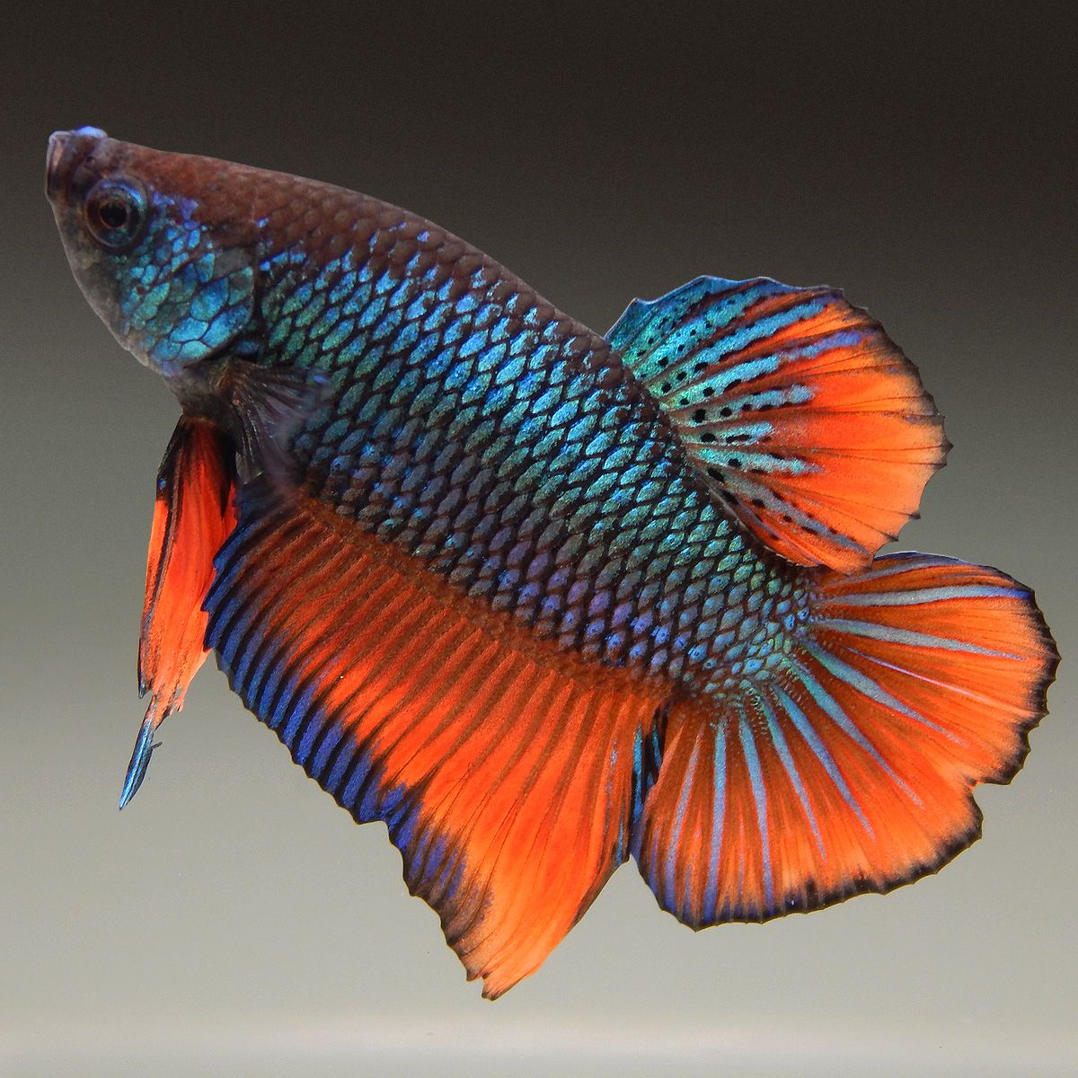 Live Betta Fish (Male) ORANGE METALLIC TURQUOISE FANCY PLAKAT ...