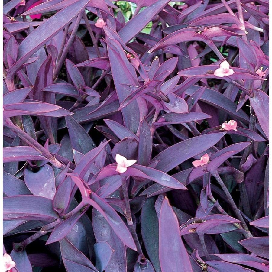 purple weed flower name