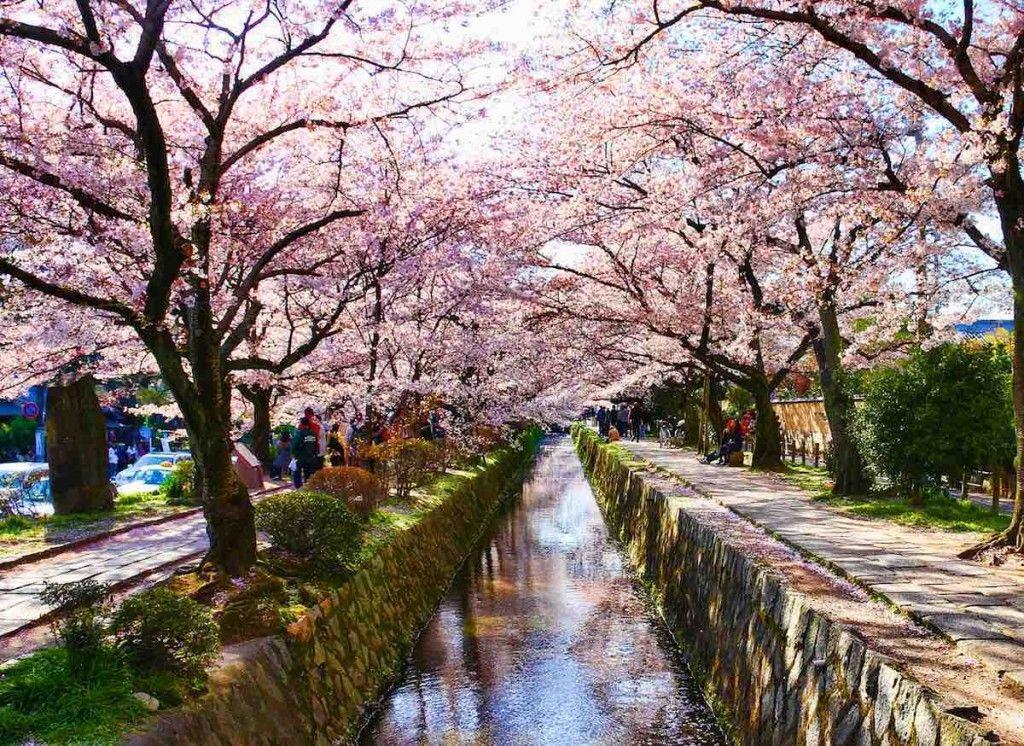 Cherry philosopher's walk