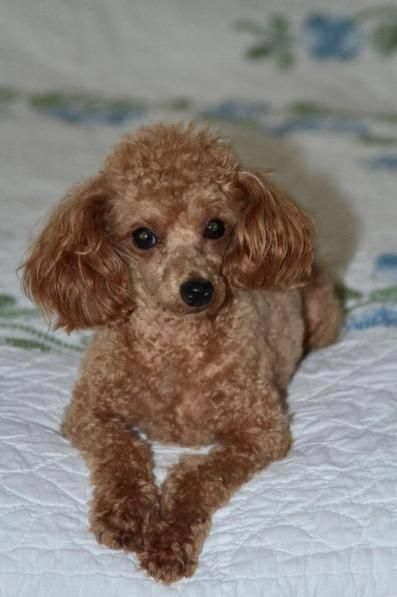 Toy Poodles By Becky Poodle Puppies For Sale Poodle