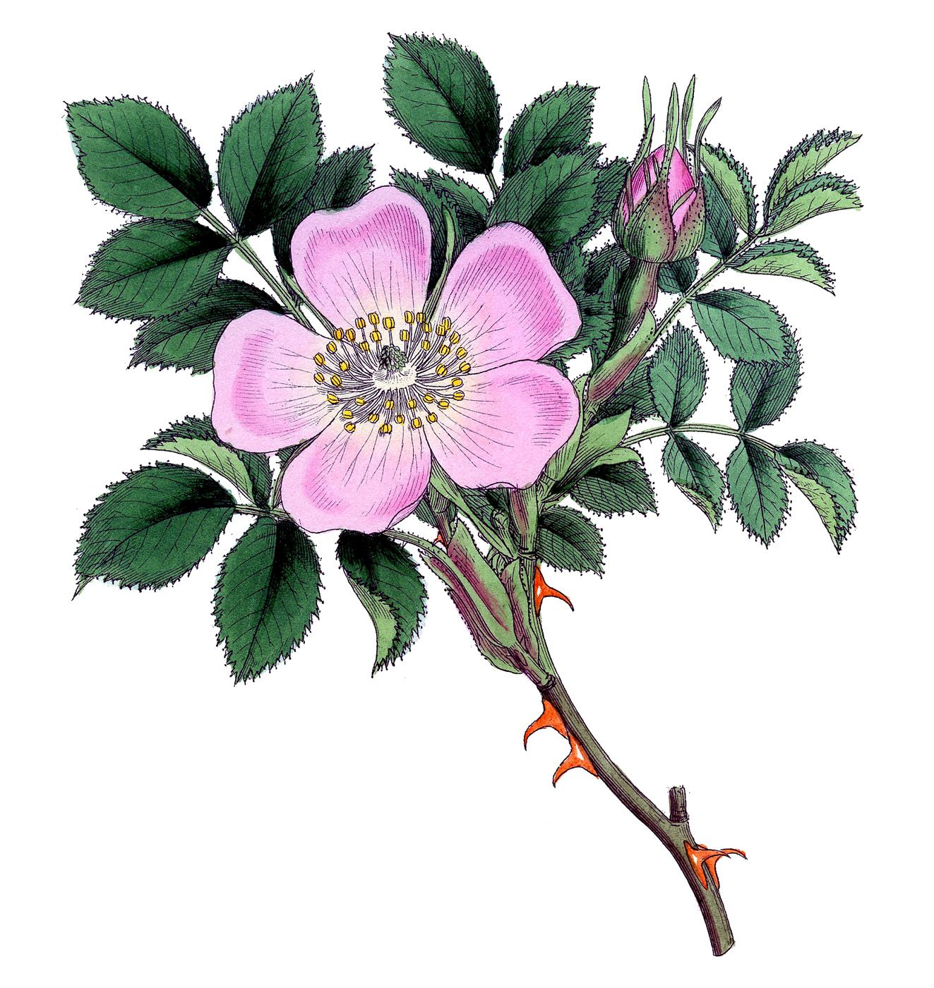 Vintage Image Super Pretty Wild Rose The Graphics Fairy Wild Rose Tattoo Flower Drawing Rose Illustration