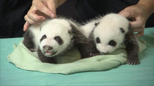 'Panda'-Monium at the National Zoo Video - ABC News