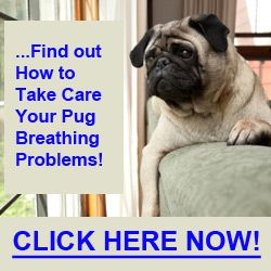 5 Main Causes For Pug Breathing Problems Pugs Puppies Pug Love