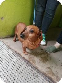 #Austin, #TX -  Meet AUDREY an #Adoptable female #Dachshund mix. Facts about AUDREY she is UTD on shots  Color: Red/Golden/Orange/Chestnut Age: Adult Size: Small 25 lbs (11 kg) or less Sex: Female ID#: 6853999-22123905