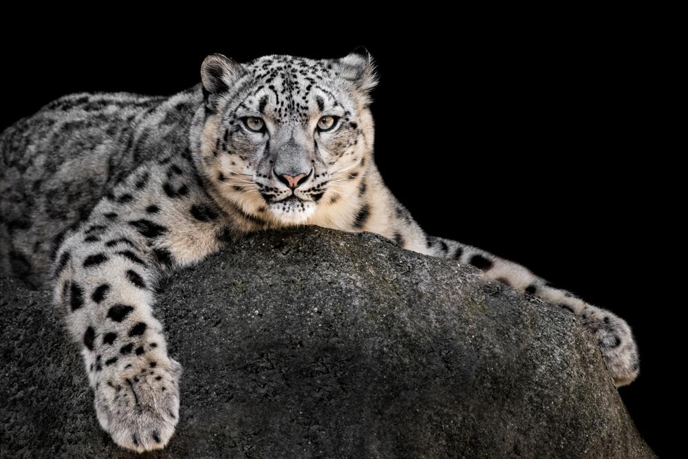 Top 25 Most Endangered Species Top5 Com Snow Leopard Leopard Kitten Snow Leopard Art