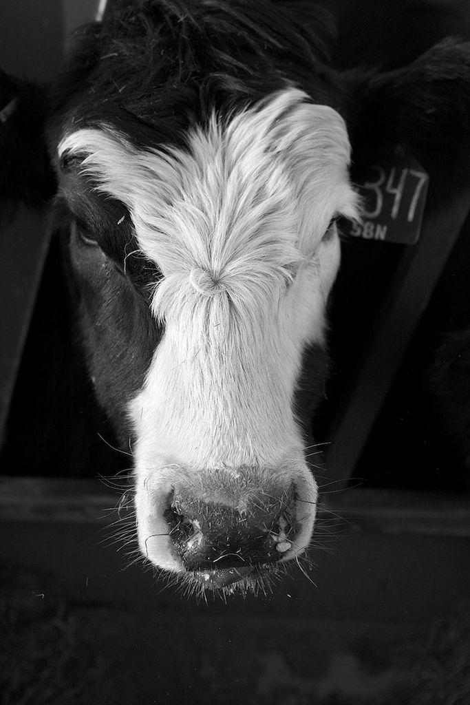 Cow. S)