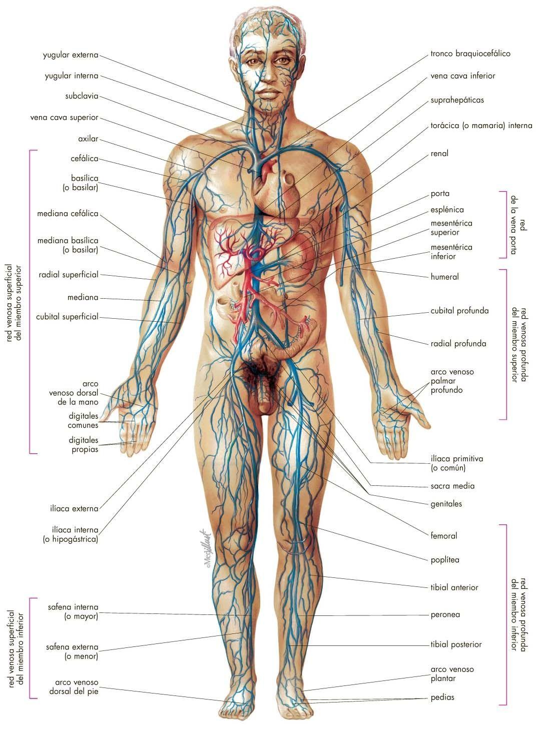 Sistema venoso - Venas del cuerpo. | Sistema cardio- circulatorio ...
