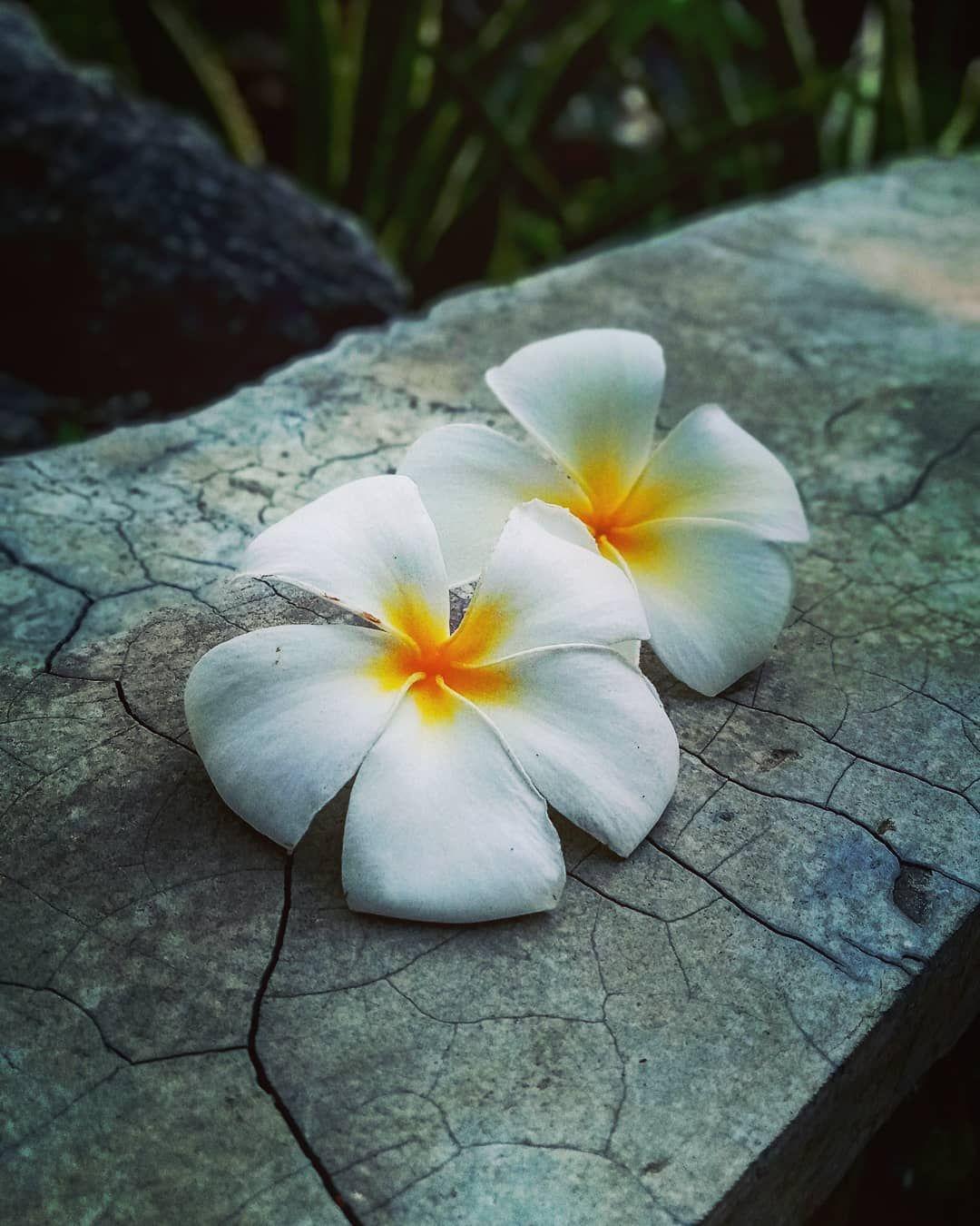 Bunga Bunga Ini Melambangkan Keindahan Pesona Kasih Dan Karunia Bunga Kamboja Dengan Warna Yang Indah Dan Wangi Plants