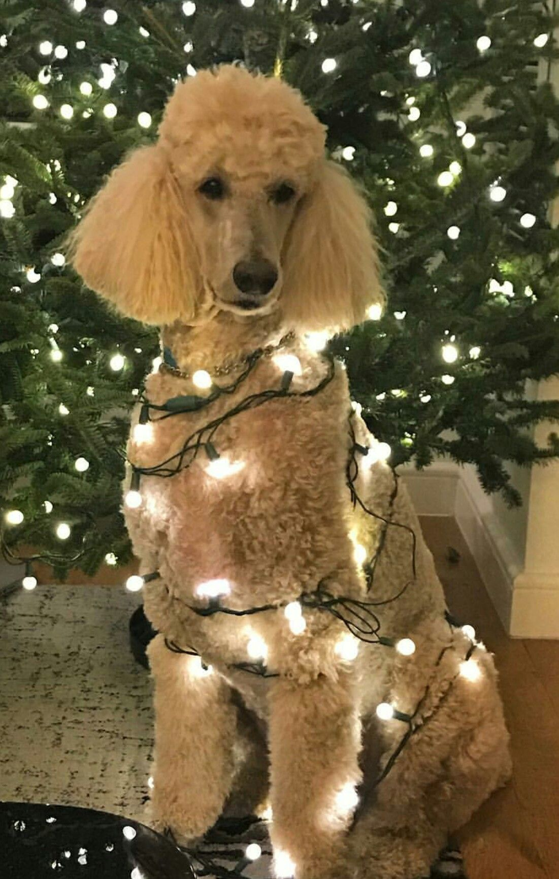 A Christmas decorated Apricot Standard Poodle | Purebred ...