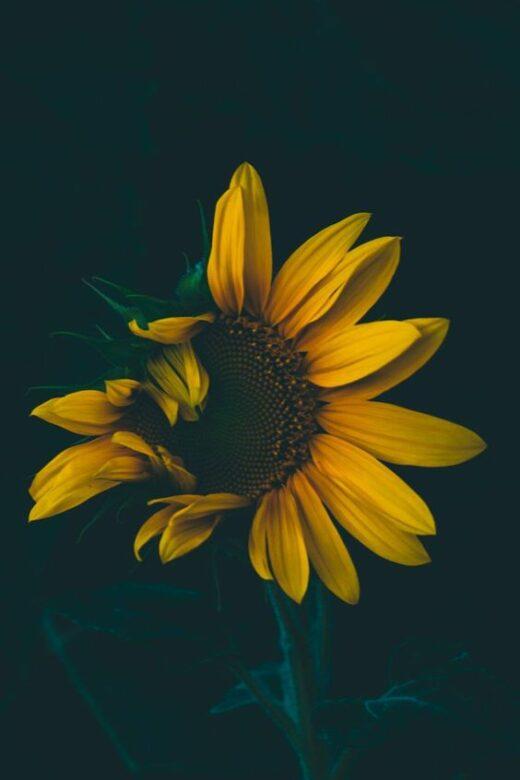 50 Sunflower Wallpapers That Will Warm Your Heart 247day In 2020 Sunflower Wallpaper Sunflower Wallpaper Hd Sunflower Iphone Wallpaper
