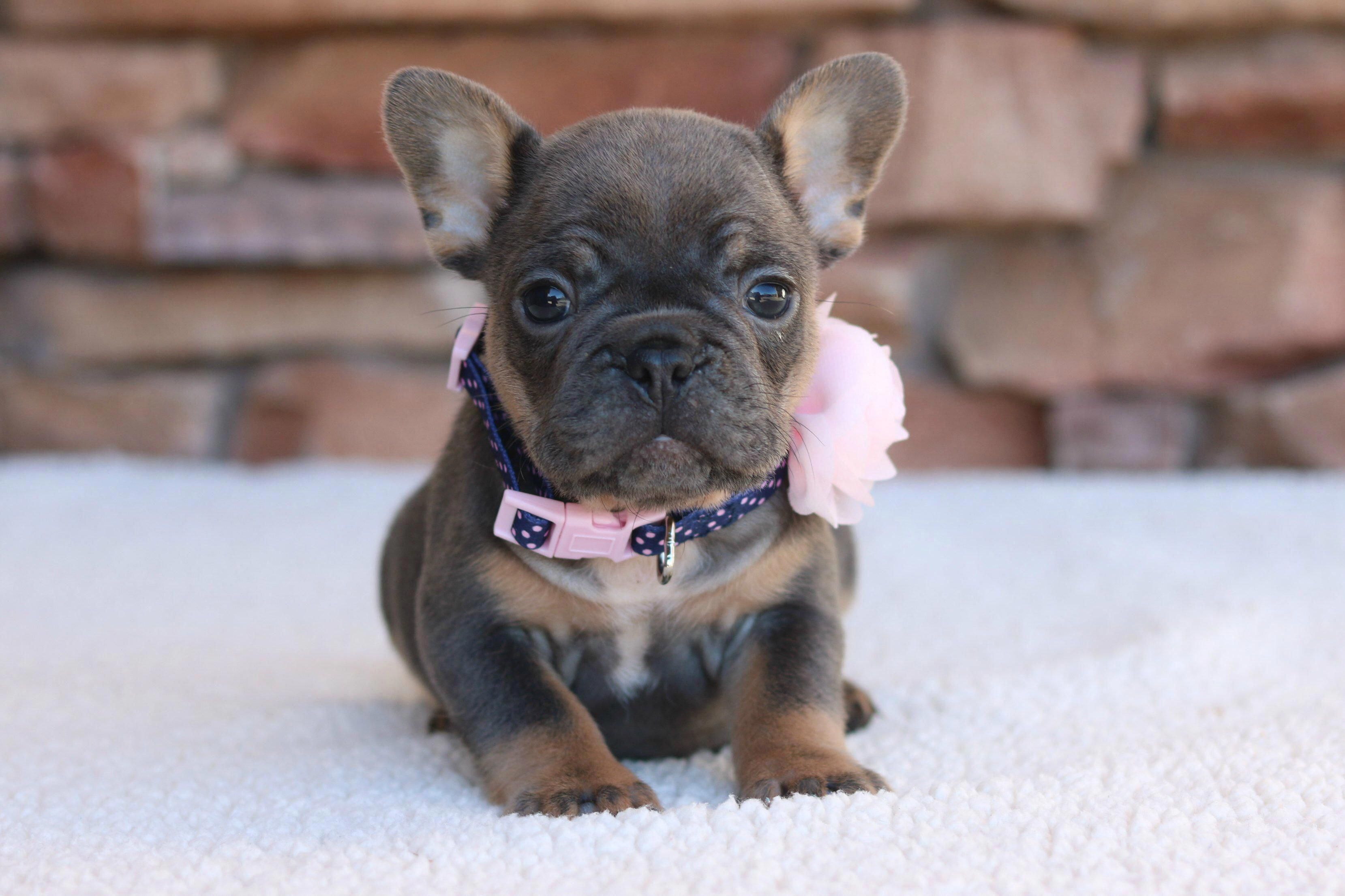 Receive Excellent Recommendations On French Bulldog Pups They Are Actually Accessible For You On Our Internet Sit French Bulldog Cute French Bulldog Bulldog