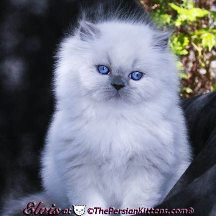 Persian Persian Kittens Himalayan Kitten Kittens