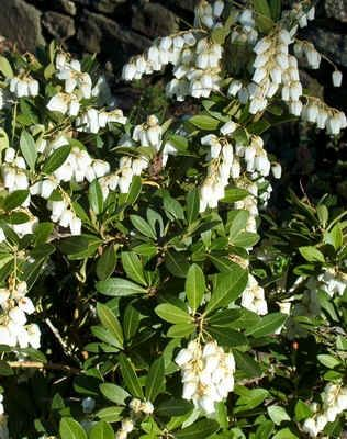 Drooping leucothoe low evergreen shrub shade fragrant white drooping leucothoe low evergreen shrub shade fragrant white flowers in spring mightylinksfo Image collections