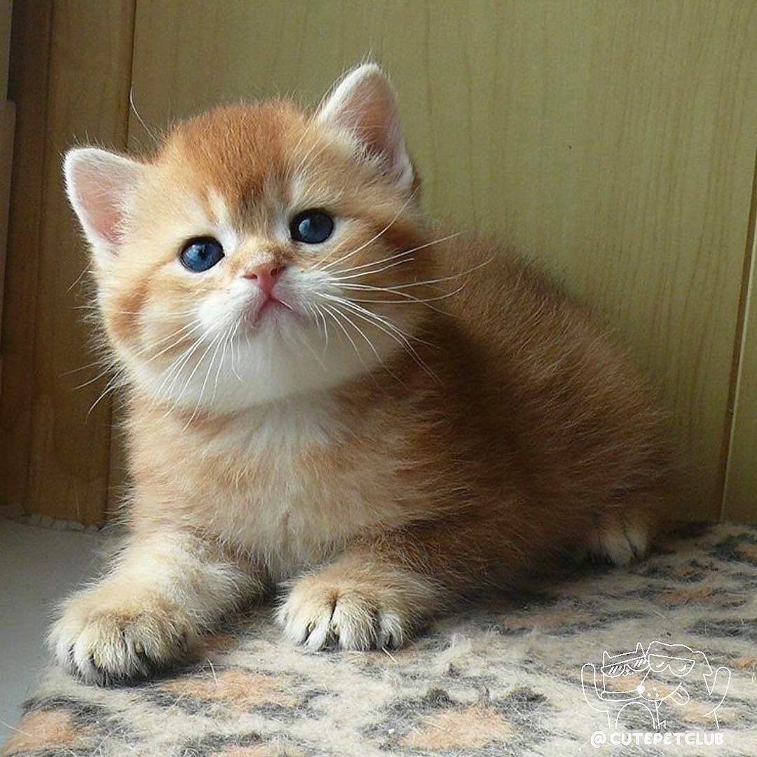 From Thesey Gold Dobrogo Vechera Druzya Good Baby Cats Kittens Cutest British Shorthair Cats