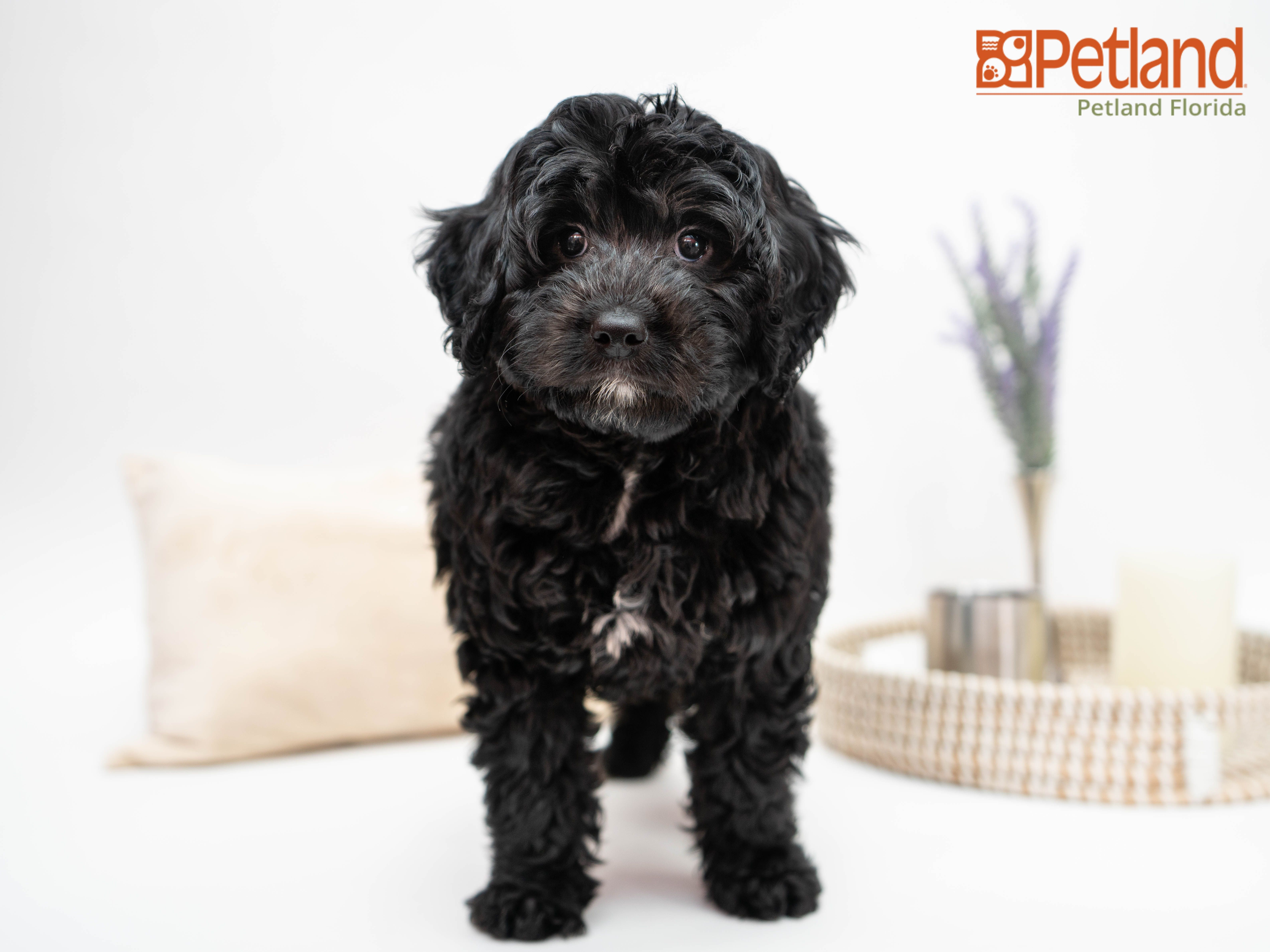Puppies For Sale Goldendoodle Puppy For Sale Mini Goldendoodle Puppies Puppies