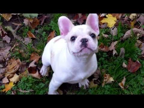 Aristocrat French Bulldogs And Bullmastiffs Email Aristocratbulls