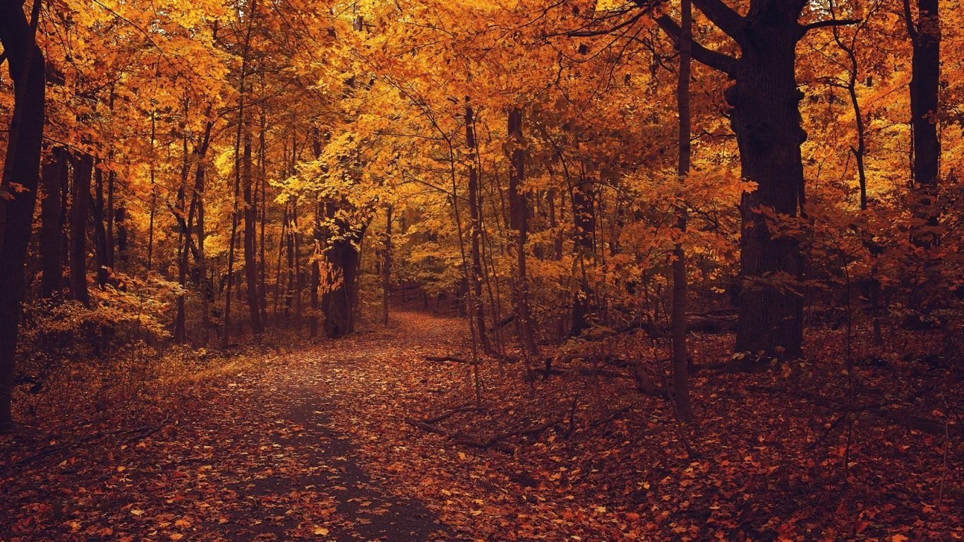 Forests Golden Autmn Colors Autumn Country Leaves Road Old Red Fall Nature Forest Hd Live Wallpapers 1366x768 Tree Nature Wallpaper Forest Photos Autumn Forest