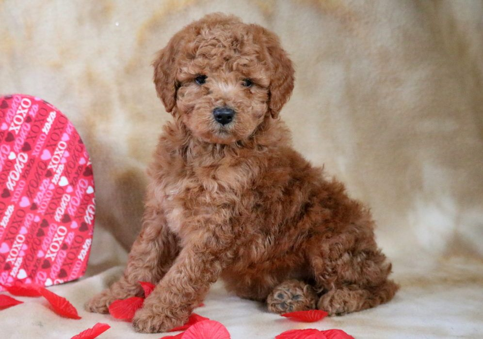 Greggy Health Guaranteed Keystone Puppies Sevimli