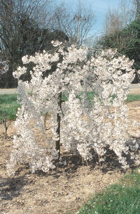 A Glimpse Of Spring Prunus Incisa Pendula Very Graceful Small Weeping Cherry Tree Delicate Small Garden Trees Uk Weeping Cherry Tree Small Trees For Garden
