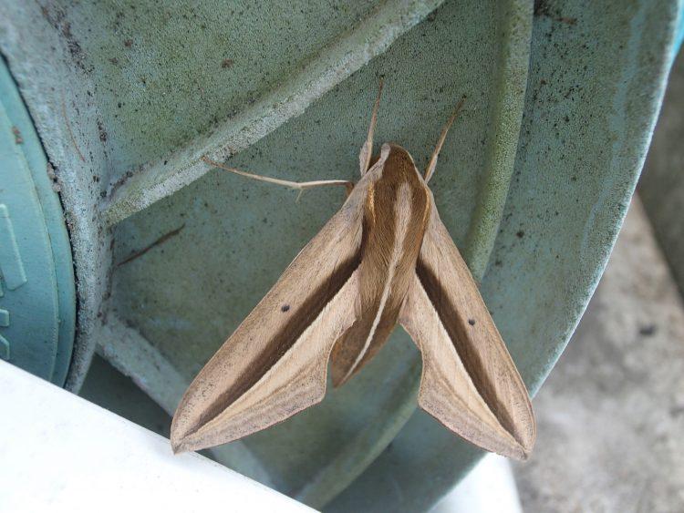 ハンググライダーのような形の蛾 セスジスズメ 蛾 ホバリング