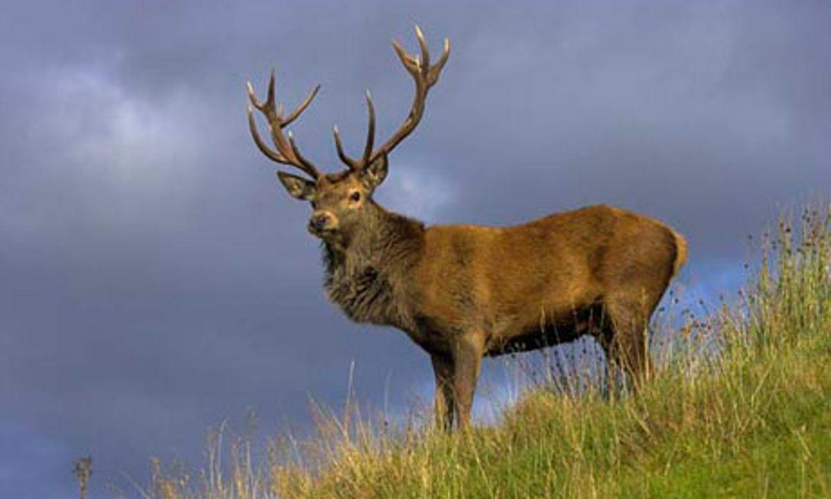 scotland deer - Google Search