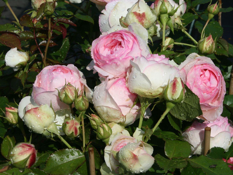 Strauchrose \'Eden Rose 85\' ® - Rosa \'Eden Rose 85\' ® | Geranium ...