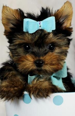 Teacup Yorkies For Sale Teacup Yorkie Dogs Florida Teacup Yorkie For Sale Yorkie Puppy Yorkie Dogs