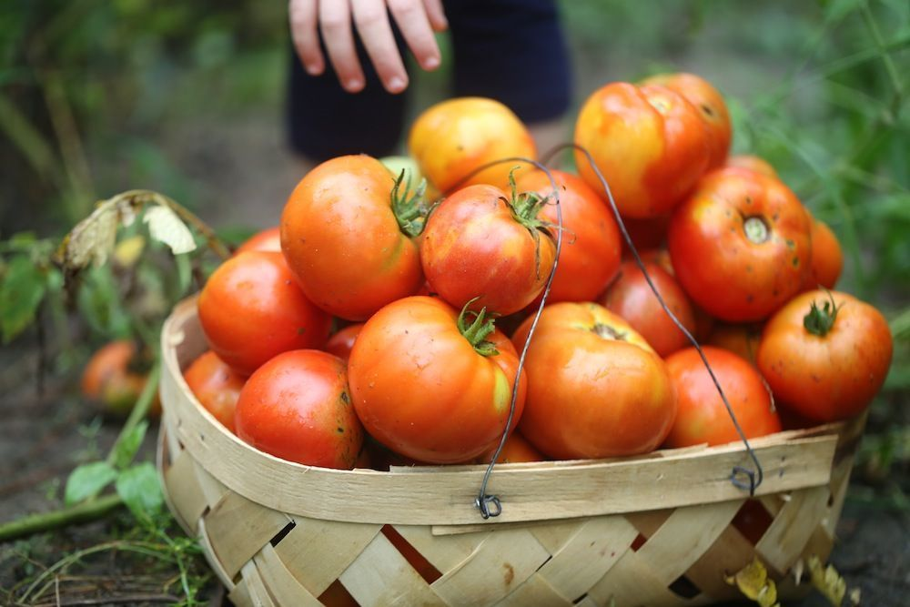 How to Save Tomato Seeds  How to Save Tomato Seeds Saving seeds from tomatoes   How to Save Tomato Seeds  How to Save Tomato Seeds Saving seeds from tomatoes is a little...