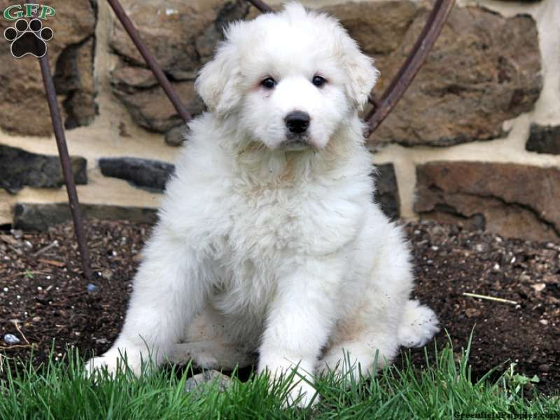 Elsa Great Pyrenees Mix Puppy For Sale In Meyersdale Pa