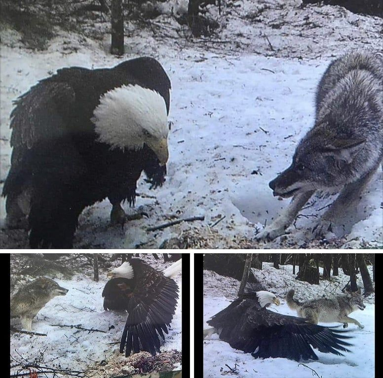 Bald Eagle Size Vs Grey Wolf Caught On Trail Cam Pics In 2020 Bald Eagle Bald Eagle Size Grey Wolf