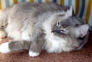 Adopt Oliver On Pet Finder Ragdoll Cat