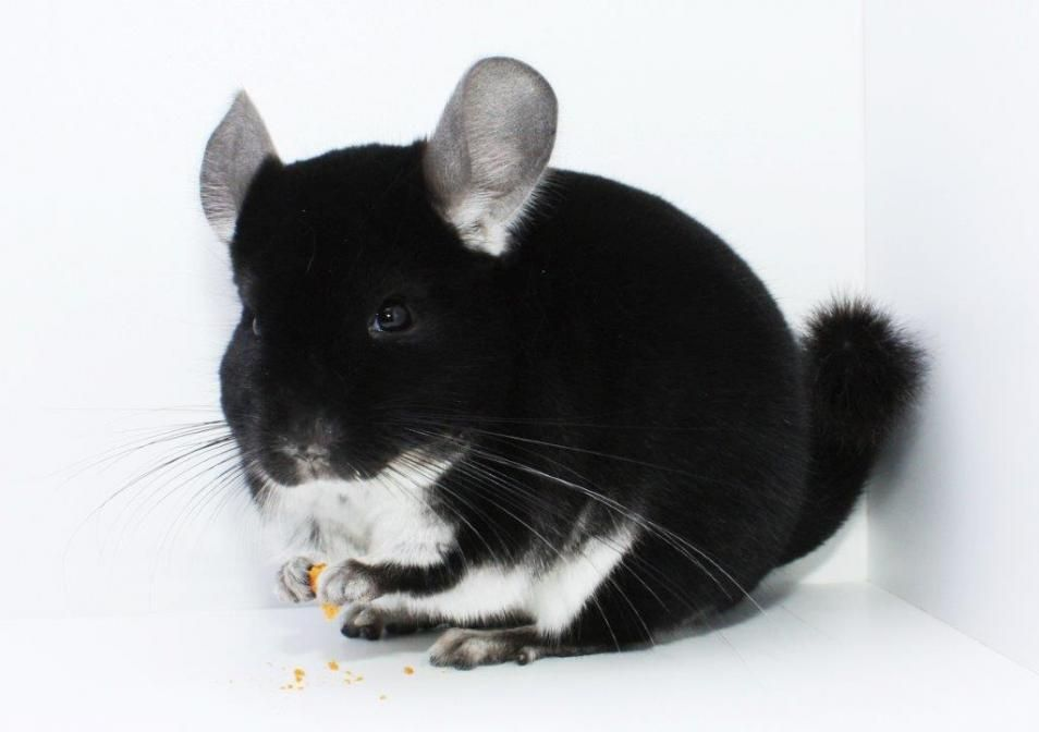 Get To Know A Chinchilla Colour Black Pearl Bp Chinchilla Pet Cute Animals Baby Animals