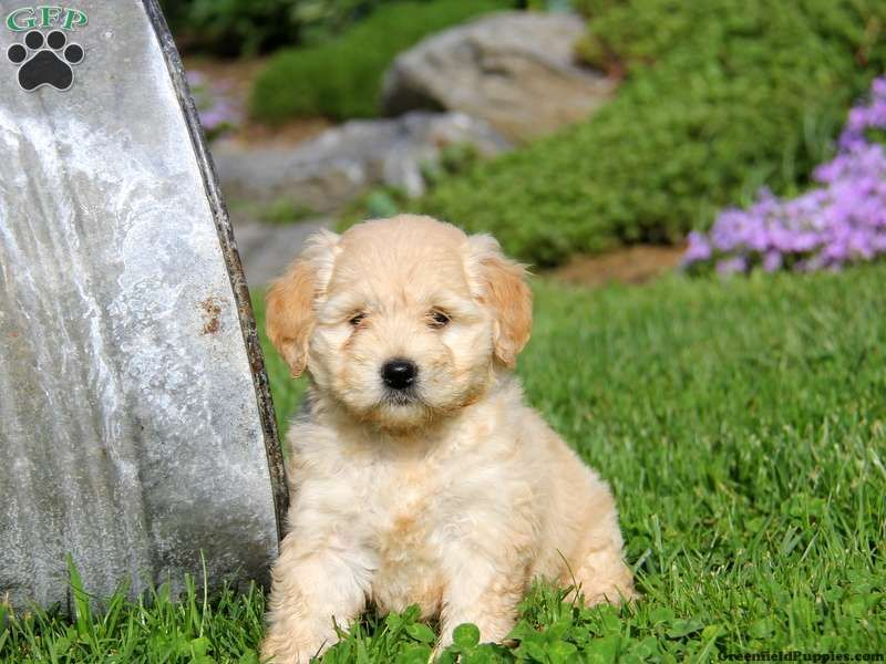 GoldendoodleMiniature Puppies For Sale In PA (With images