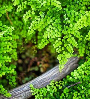 Love the elegant foliage of the Himalayan Maidenhair Fern. See more woodland plants from an Illinois garden: http://www.midwestliving.com/garden/featured-mwl/illinois-woodland-garden/