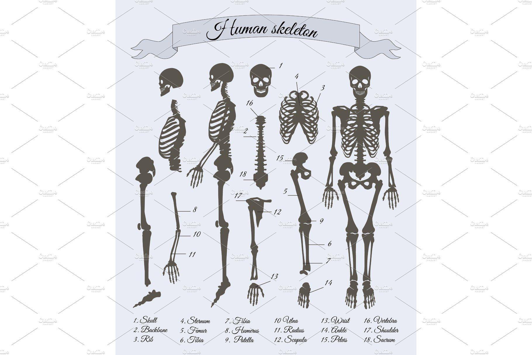 Скелет человека картинка с подписями на английском