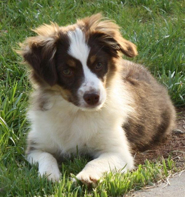 Miniature Australian Shepherd Red Tricolor Miniature Australian
