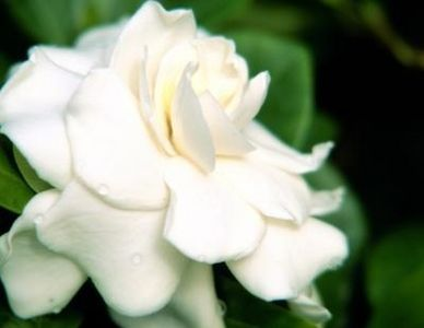 How To Make Oil Out Of Gardenia Flowers Thumbnail With Images