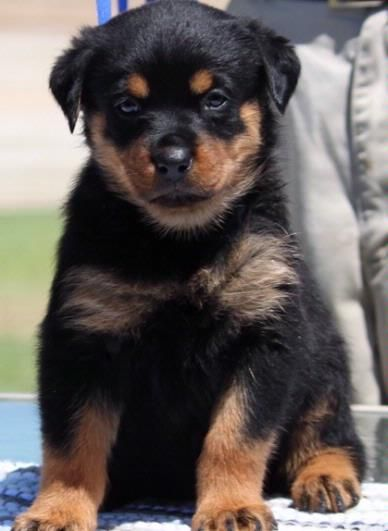 Colorful Pictures Of Rotties Rottweiler Puppies Dog For Adoption