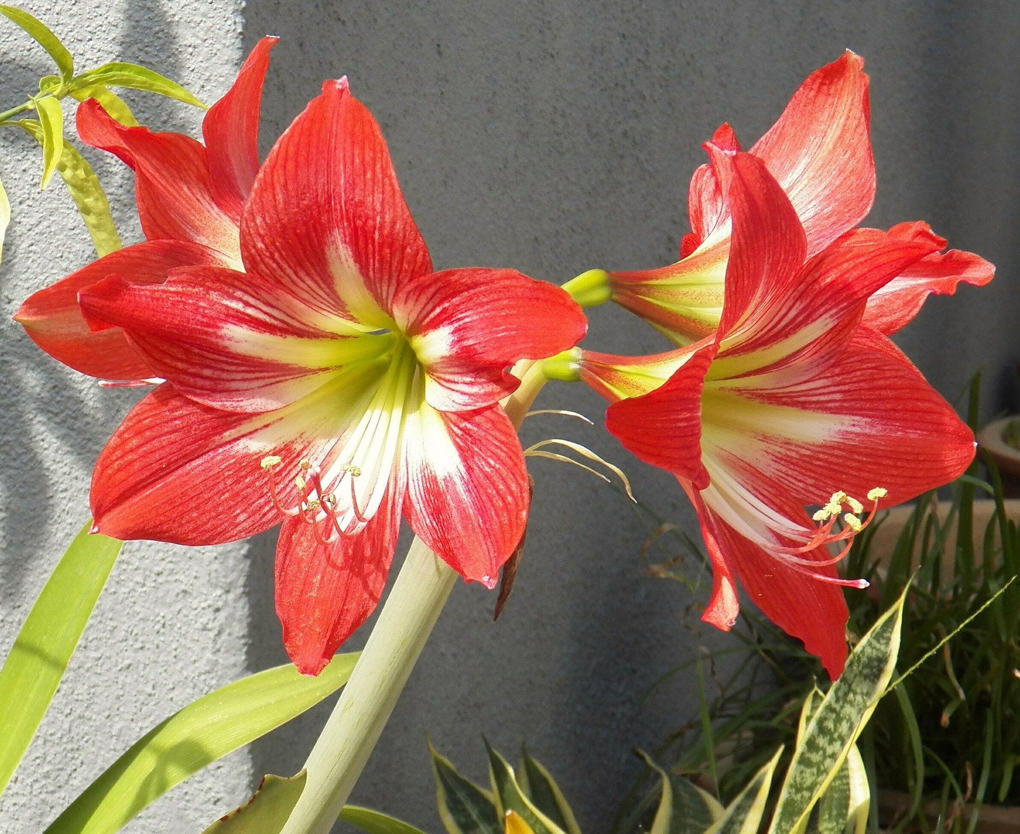 Amaryllis Lily 孤挺花 Easter Lily Amaryllis Flowers