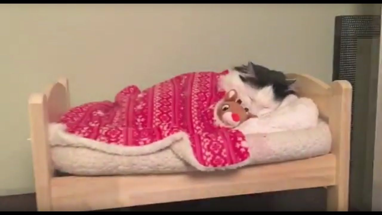 A Beautiful Longhaired Cat Goes Nighty Night All By Herself In A Tiny Human Styled Bed Cat Sleeping Cute Cats Youtube Cats