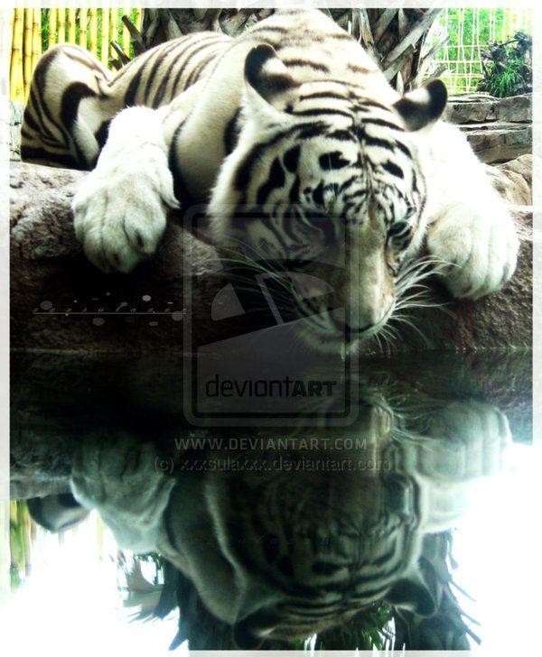 bengal tiger endangered essay writer