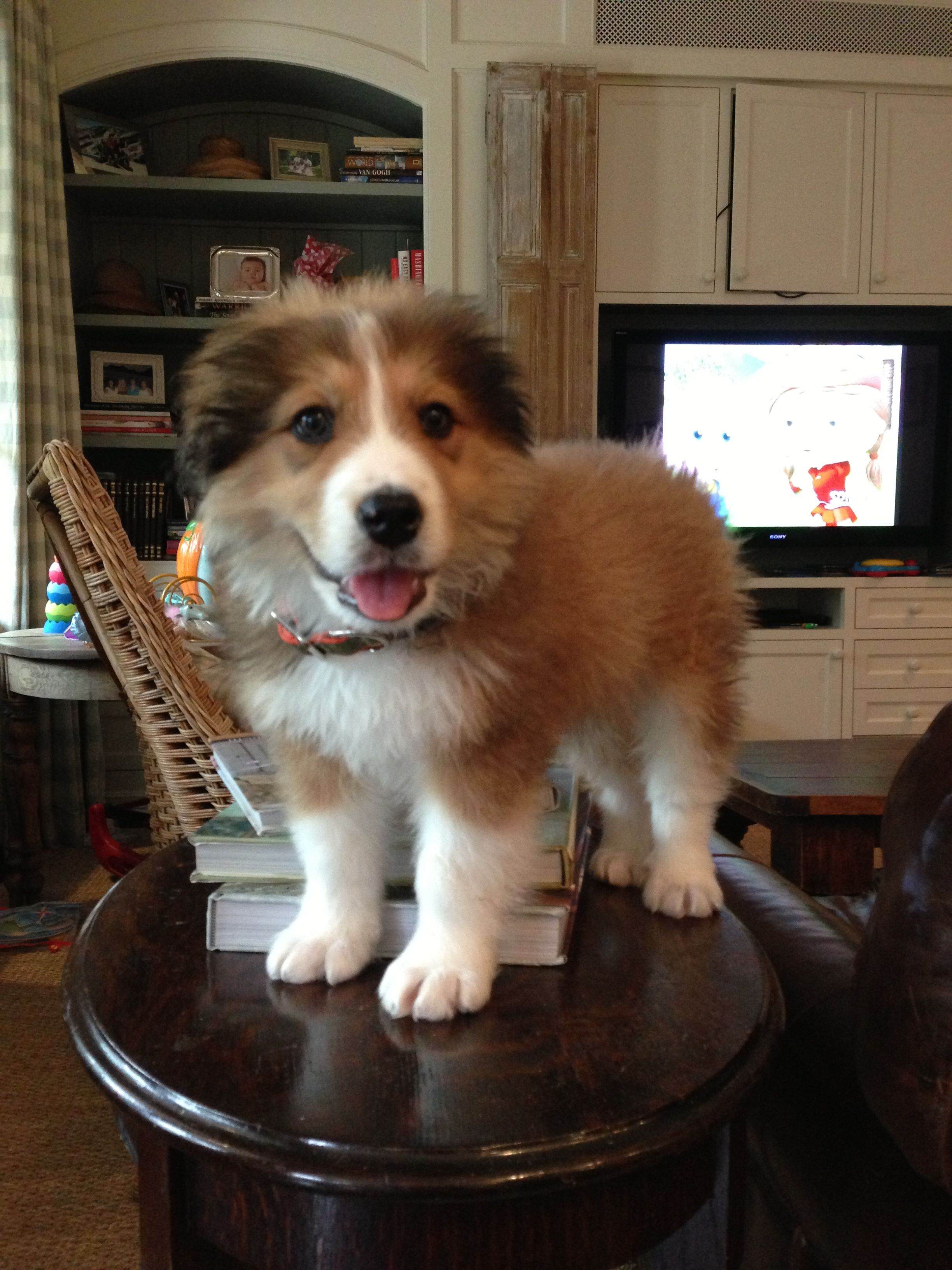 Great Pyrenees / Bernese Mountain Dog mix puppy Puppy