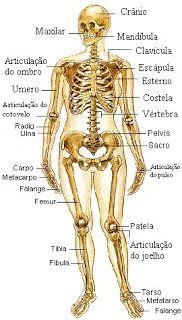 El Sistema Oseo Humano Esquema Del Esqueleto Esqueleto Humano Anatomia Humana Anatomia Y Fisiologia